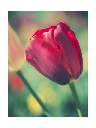 https://imgc.artprintimages.com/img/print/tulip-sway-ii_u-l-q19bwfi0.jpg?p=0