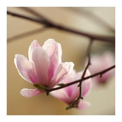 https://imgc.artprintimages.com/img/print/tulip-tree-1_u-l-f7v1n40.jpg?p=0