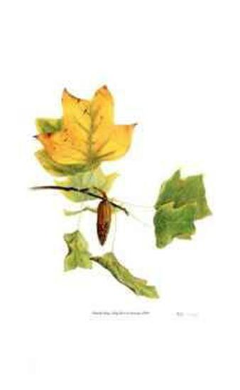 Tulip Tree in Autumn-Pamela Stagg-Limited Edition