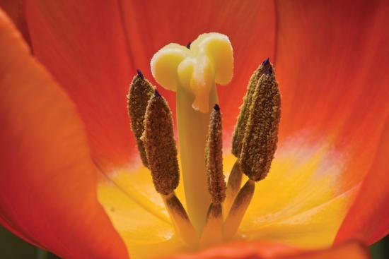 Tulip Up Close I-Lee Peterson-Photographic Print