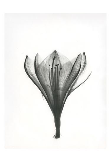 Tulip-Albert Koetsier-Art Print
