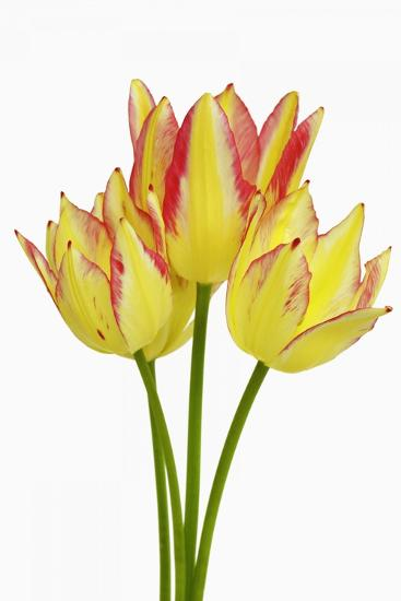 Tulip-Frank Krahmer-Photographic Print