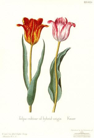 https://imgc.artprintimages.com/img/print/tulipa-cultivar_u-l-e77qj0.jpg?p=0