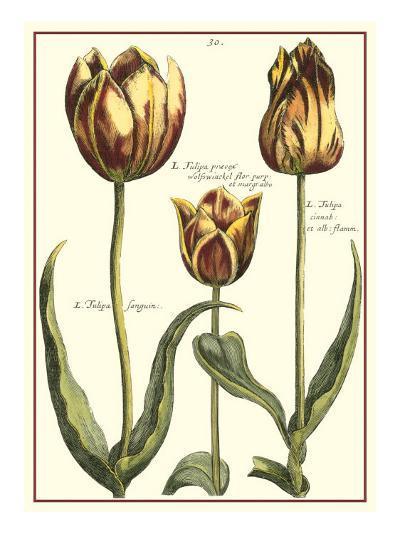 Tulipa II-Crispijn de Passe-Art Print