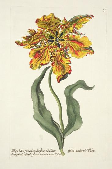 Tulipa Lutea from 'Phythanthoza Iconographica', Published in Germany, 1737-45-Johann Wilhelm Weinman-Giclee Print