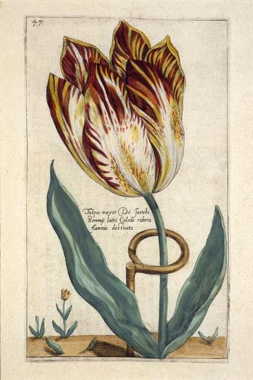 Tulipa Mayor Do Jacobi Bommy, Plate 47, from 'Hortus Floridus' Published 1614-Crispin II de Passe-Giclee Print