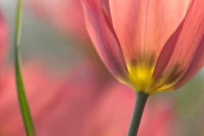 https://imgc.artprintimages.com/img/print/tulipa-planifolia_u-l-q12u9j50.jpg?p=0
