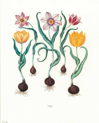 Tulipa--Art Print