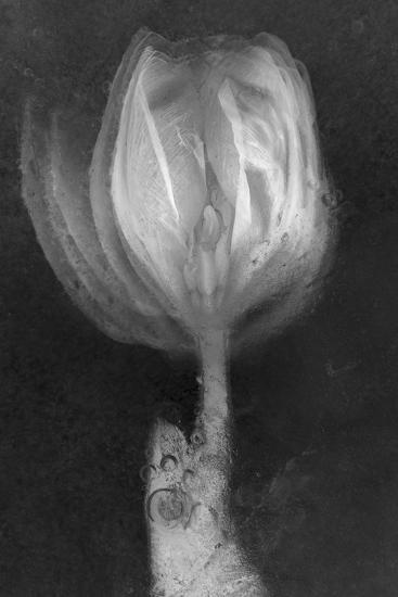 Tulipan X Ray-Moises Levy-Photographic Print