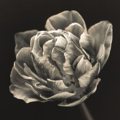 Tulipana Still-Assaf Frank-Giclee Print