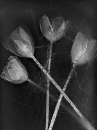 https://imgc.artprintimages.com/img/print/tulipanes_u-l-q10pn4t0.jpg?p=0