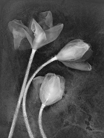 https://imgc.artprintimages.com/img/print/tulipanes_u-l-q10pn8l0.jpg?p=0