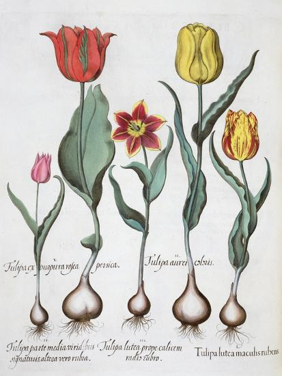 Tulips, 1613-Unknown-Giclee Print