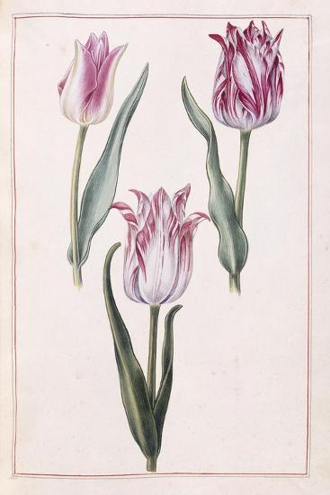 Tulips, 18th Century--Giclee Print