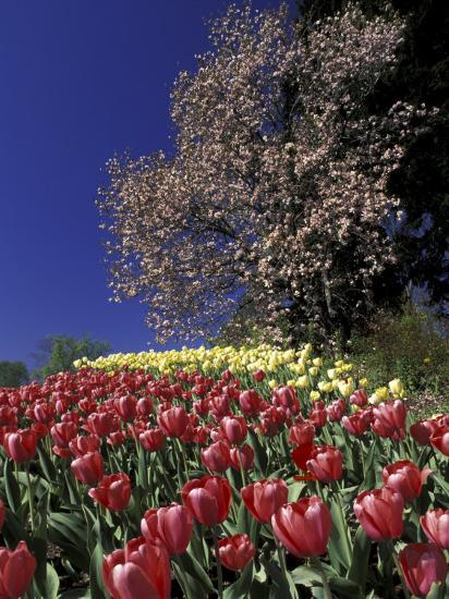 Tulips And Yulan Magnolia Tree Cincinnati Ohio Usa Photographic