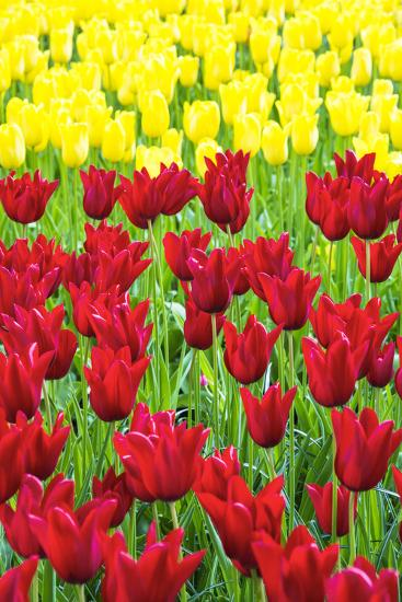 Tulips at KeUKenhof Gardens, Duin- En Bollenstreek, the Netherlands-Nadia Isakova-Photographic Print