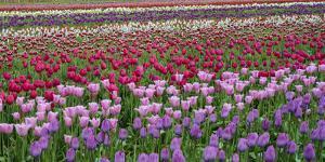 Tulips at Wooden Shoe Tulip Farm, Woodburn, Marion County, Oregon, Usa