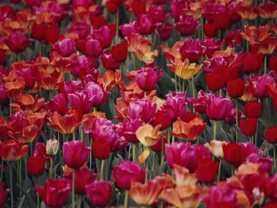 Tulips Bloom in the Hotel Gardens-Stephen St^ John-Photographic Print