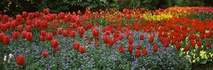 Tulips Blooming in a Garden, St. James's Park, City of Westminster, London, England