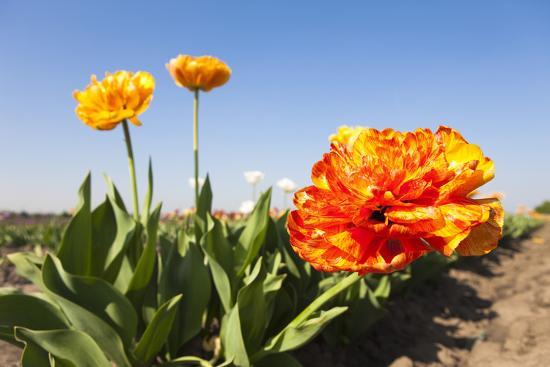 Tulips, Blossom, Blue Heaven-Frank Lukasseck-Photographic Print