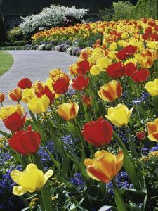 Tulips Buchart Garden Victoria British Columbia, Canada