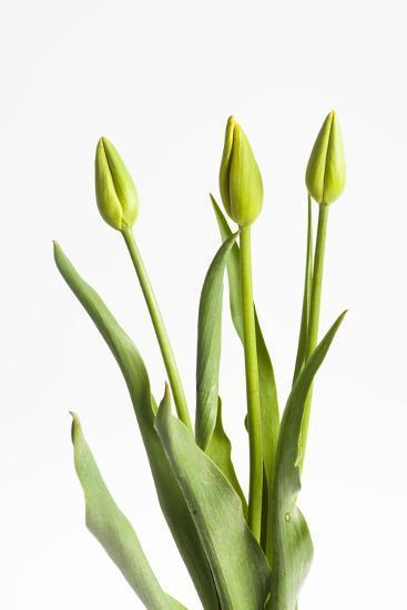 Tulips, Buds, Three-Frank Lukasseck-Photographic Print
