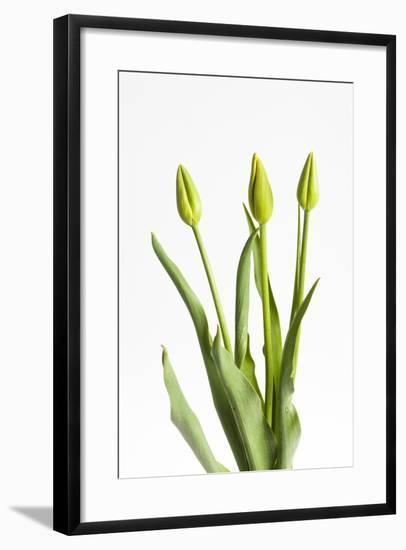 Tulips, Buds, Three-Frank Lukasseck-Framed Photographic Print