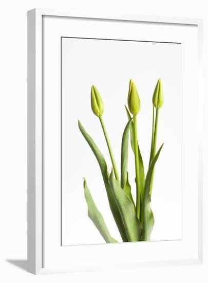 Tulips, Buds, Three-Frank Lukasseck-Framed Photographic Print