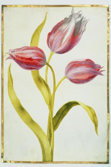 Tulips, C.1675-Nicolas Robert-Giclee Print