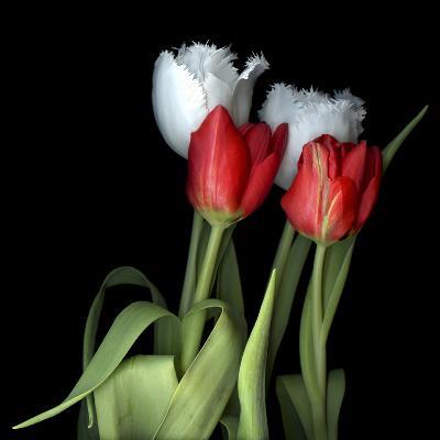 Tulips From Amsterdam-Magda Indigo-Photographic Print