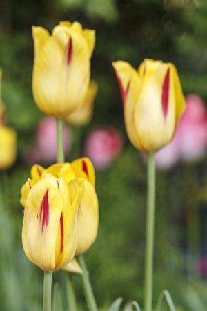 https://imgc.artprintimages.com/img/print/tulips-herald-of-spring_u-l-q1evhkr0.jpg?p=0