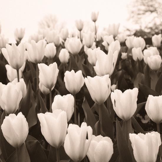 Tulips I--Art Print