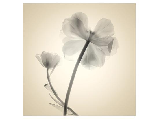Tulips II-Judy Stalus-Art Print