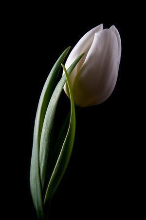 https://imgc.artprintimages.com/img/print/tulips-iii_u-l-q10ps7w0.jpg?p=0