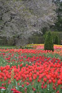 Tulips in Spring, Longwood Gardens, 2019 ( photograph