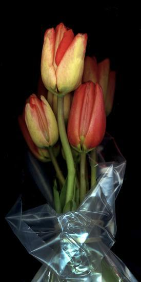 Tulips in Wrap on Black Background-Anna Miller-Photographic Print