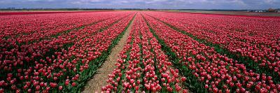 Tulips Near Alkmaar Netherlands--Photographic Print