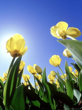 https://imgc.artprintimages.com/img/print/tulips-ohio_u-l-q10r37v0.jpg?p=0