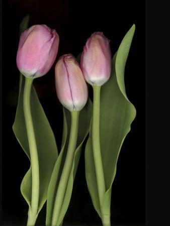 https://imgc.artprintimages.com/img/print/tulips-on-black-background_u-l-q10vldr0.jpg?p=0