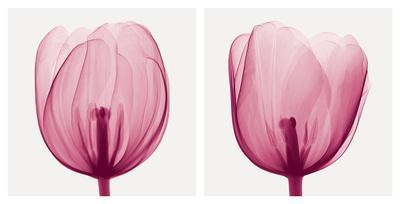 https://imgc.artprintimages.com/img/print/tulips-positive_u-l-f5nqv10.jpg?p=0