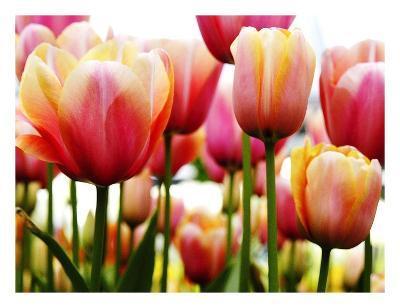 Tulips-PhotoINC Studio-Art Print
