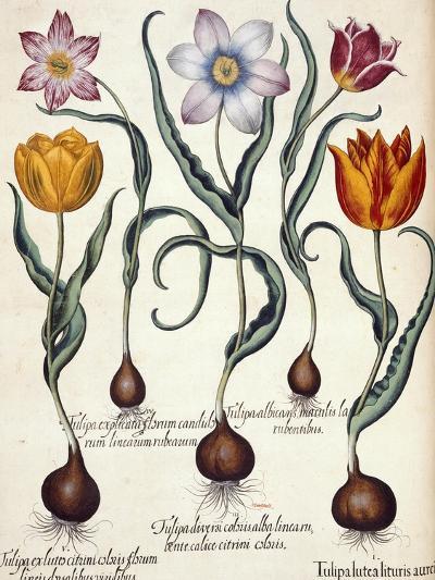 Tulips--Giclee Print