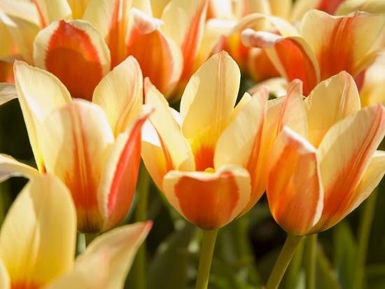 Tulips-Craig Tuttle-Photographic Print