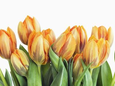 Tulips-Frank Krahmer-Photographic Print