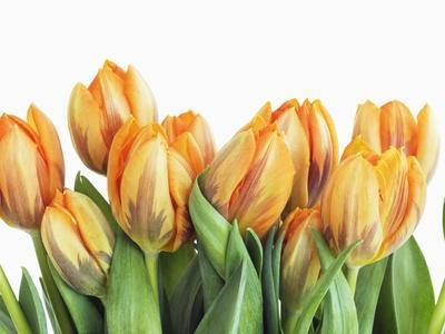 https://imgc.artprintimages.com/img/print/tulips_u-l-pzlg4u0.jpg?p=0