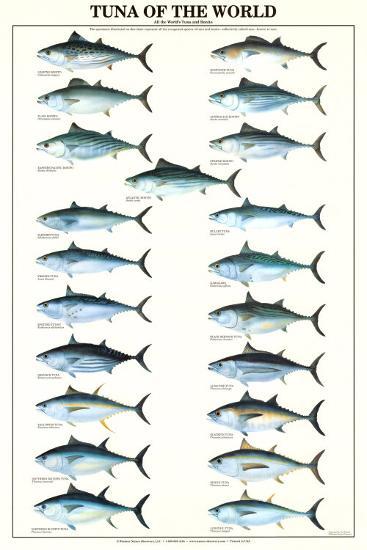 Tuna of the World--Art Print