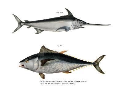 Tuna--Giclee Print