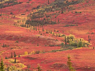 Tundra of Denali National Park, Dwarf Willow and Bear Berry, Alaska, USA-Charles Sleicher-Photographic Print