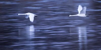 Tundra Swans in Flight Above the Mississippi River in Monticello, Minnesota-Michael Melford-Photographic Print
