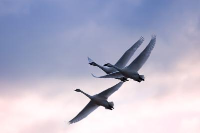 Tundra Swans in Flight-Delmas Lehman-Photographic Print